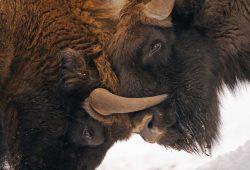 """Die Wiederherstellung von Ökosystemen durch """"Rewilding"""" ermöglicht die Rückkehr wilder Tiere. Foto: Stefano Unterthiner / Rewilding Europe"""