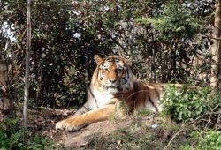 Entspannter Tiger ohne Zirkusrummel. Foto: Sebastian Beyer
