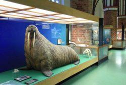 Das Walross in der Ausstellung des Meeresmuseums in Stralsund. Foto: Johannes-Maria Schlorke