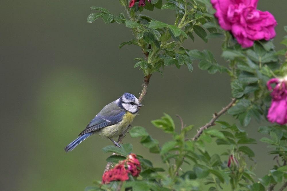 """Die Blaumeise steht bei der """"Stunde der Gartenvögel"""" unter besonderer Beobachtung – in Sachsen zeichnet sich derzeit kein mysteriöses Meisensterben ab. Foto: Frank Hecker/NABU"""