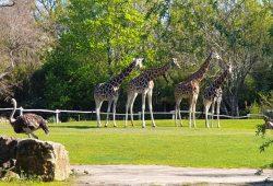 Blick aus dem Rosental - Giraffen auf der Savanne © Zoo Leipzig