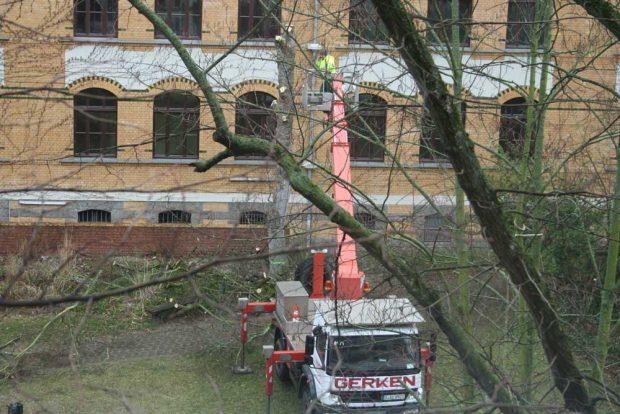 Baumfällungen auf dem Schulhof der Apollonia-von-Wiedebach-Schule. Foto: Ralf Julke