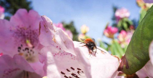 Viele Insekten erfüllen wichtige Funktionen in unseren Ökosystemen, z. B. die Bestäubung von Wild- und Kulturpflanzen. Das Foto zeigt eine Gehörnte Mauerbiene (Osmia cornuta). Foto: Gabriele Rada