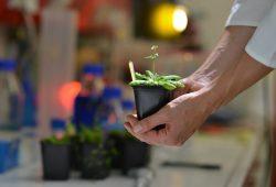 Die Forscher haben die Pflanze Arabidopsis thaliana untersucht. Foto: Markus Scholz / Uni Halle