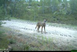 Jungwolf © LUPUS Institut für Wolfsmonitoring und -forschung