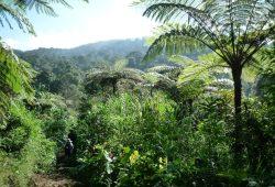 Artenreicher Regenwald im Nationalpark Mount Halimun Salak auf der indonesischen Insel Java. Foto: Universität Leipzig/Alexandra Müllner-Riehl