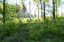 Im Colditzer Forst wurde eine ehemalige Nadelholzfläche mit Rotbuchen aufgeforstet. Foto: LK-L
