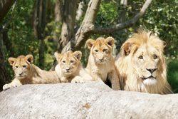 Majo mit den drei Jungtieren © Zoo Leipzig