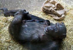 Schimpandenweibchen Fraukje mit ihrer Tochter auf der Innenanlage von Pongoland © Zoo Leipzig