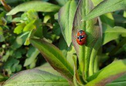 Beim Insektensommer 2020 stehen der Siebenpunktmarienkäfer und sein entfernter Verwandter, der Asiatische Marienkäfer, im Fokus. Foto: Ina Ebert