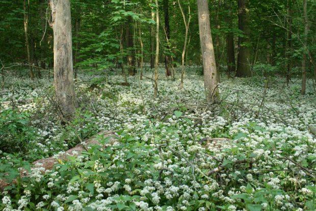 Bärlauchblüte im Auenwald. Foto: Ralf Julke