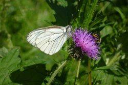 Der Baumweißling (Aporia crataegi) ist ein weitverbreiteter Schmetterling, der hinsichtlich seines Lebensraumes sehr variabel ist. Er gehört zu den wenigen Tagfalterarten, die von den Natura 2000-Schutzgebieten profitieren. Foto: Martin Musche