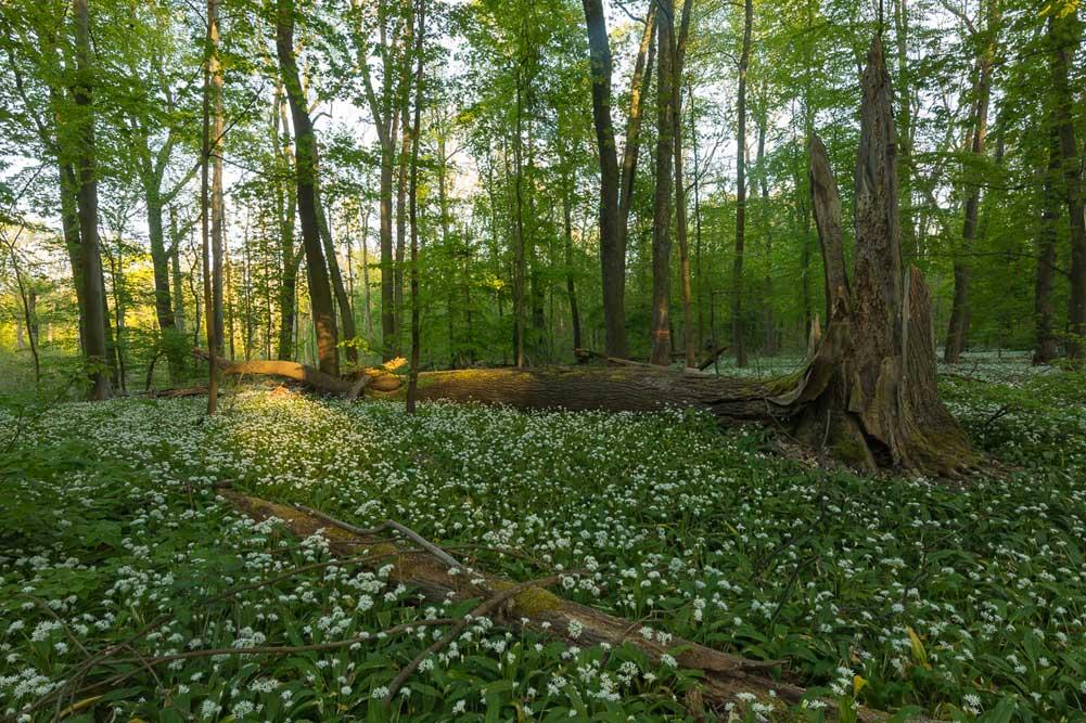 Bärlauchblüte in der Burgaue. Foto: privat