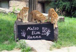 Die Löwenjungtiere Mateo, Elsa und Hanna © Zoo Leipzig