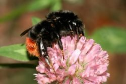 Die Steinhummel liegt nach der ersten Zählung des Insektensommers 2020 erneut vorn. Sie wurde in den meisten Gärten und Parks gesichtet. Foto: Helge May/NABU