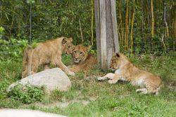 Die drei Löwenjungtiere brauchen einen Namen © Zoo Leipzig