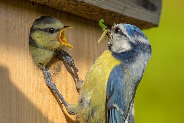 Blaumeise bei der Fütterung. Foto: NABU / Rita Priemer