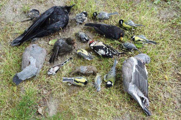 Allein schon durch Zufallsfunde hat der NABU Leipzig 23 tote Vögel aufgesammelt. Foto: NABU Leipzig