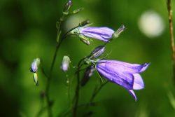 Die Rundblättrige Glockenblume (Campanula rotundifolia) ist eine von vielen Glockenblumenarten in Deutschland, die nicht leicht zu unterscheiden sind. Auf FloraWeb gibt es zu allen ausführliche Informationen. Foto: Senckenberg/Michaela Schwager