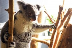 Koala-Weibchen Mandie © Zoo Leipzig