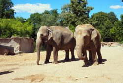 Elefantenkühe Hoa und Trinh auf der Freianlage © Zoo Leipzig
