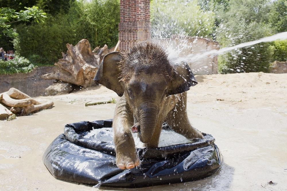 Sommerliche Abkühlung für Elefantenkalb Kiran © Zoo Leipzig