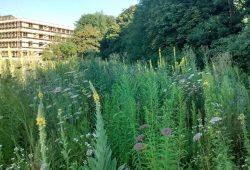Blühende Landschaft östlich der neuen Schule an der Ihmelsstraße. Foto: Alexander John