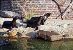 Die Seelöwen Hilla, Sissi und Alice auf Erkundungstour. Foto: Zoo Leipzig