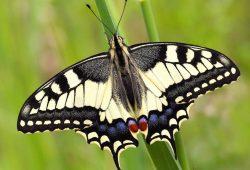 Der Schwalbenschwanz gehört zu den acht Kernarten des Insektensommers im August. Der farbenprächtige Schmetterling ist in Deutschland besonders geschützt. Foto: Ralf Hausmann
