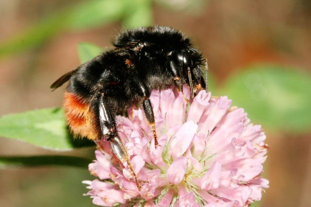 Die Steinhummel liegt nach der ersten Zählung des Insektensommers 2020 erneut vorn. Sie wurde in den meisten Gärten und Parks gesichtet. Foto: Helge May/ NABU