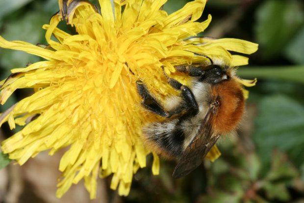 So sehen Sieger aus: Die Ackerhummel führt zum dritten Mal in Folge das Feld an beim Insektensommer im August. Foto: NABU/Helge May