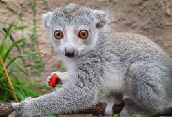 Bei den Entdeckertagen Affen ist auch der Kronenmaki-Nachwuchs mit von der Partie © Zoo Leipzig