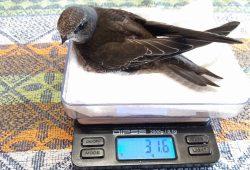 Der unterernährte Jungvogel. Quelle: NABU - Regionalverband Leipzig e.V.