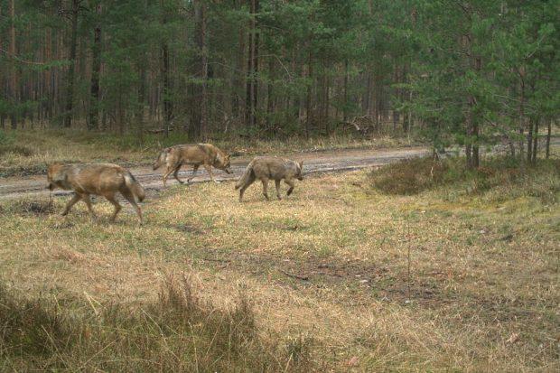 Wölfe auf Wanderschaft © LUPUS Institut für Wolfsmonitoring und -forschung