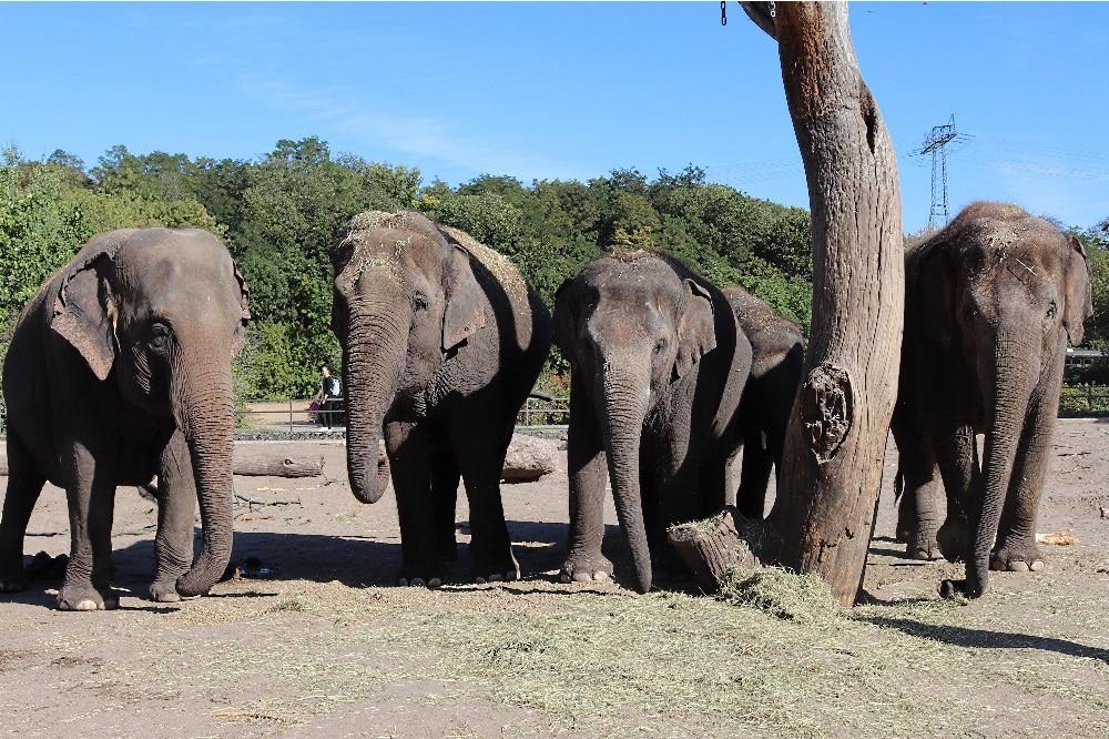 Asiatische Elefanten Kewa - Astra - Pantha - Thuza v.l.n.r. © Tierpark Berlin