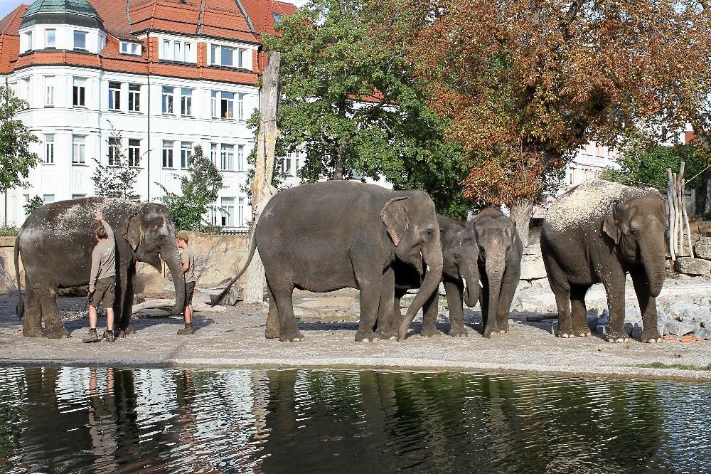 Die Berliner Elefantenherde ist da © Zoo Leipzig