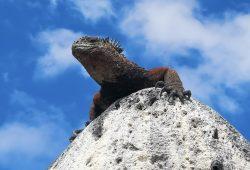 """Die Meeresechsen auf den Galápagos-Inseln sind vom Aussterben bedroht. Foto: Projekt """"Iguanas from Above"""", Amy MacLeod"""
