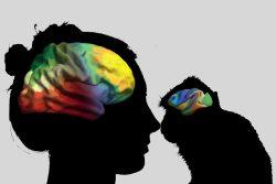 Das menschliche Gehirn ist entlang zweier Achsen organisiert. Dieses Prinzip scheint sich durch die Hirnorganisation aller Primaten zu ziehen. Grafik: Valk/ MPI CBS