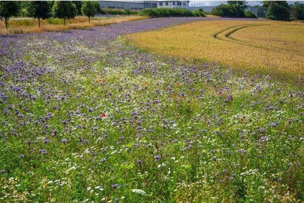 Die Anlage von Blühstreifen ist z.B. eine wirksame Strukturmaßnahme zum Schutz der Bestäuber. Foto: karegg/ AdobeStock