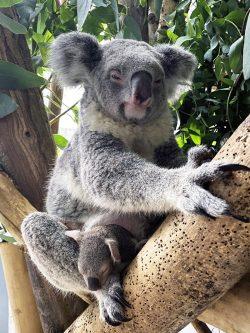 Koala Mandie mit Jungtier in einer Astgabel, Foto: Zoo Leipzig