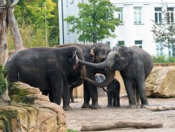 Elefantenkuh Kewa macht Bekanntschaft mit Don Chung Rani und Kiran, Foto: Zoo Leipzig