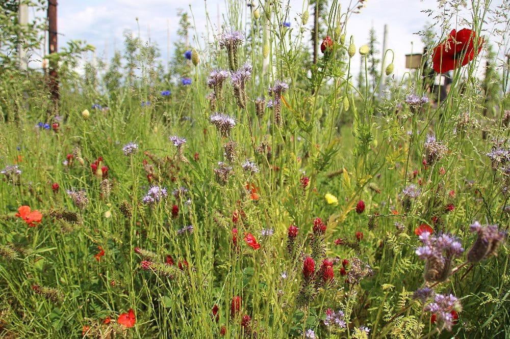 Blühstreifen erhöhen die Biodiversität in der Landwirtschaft. Wie die Artenvielfalt noch gesteigert werden kann, wird bei der Veranstaltung des NABU Sachsen am 28. Oktober erläutert. Foto: Philipp Steuer
