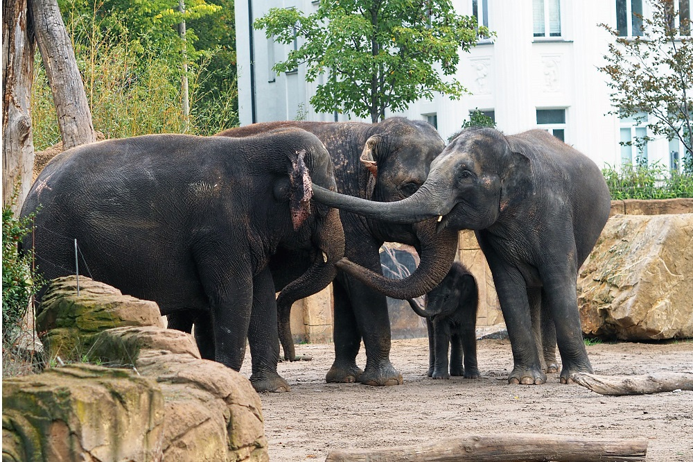 Elefantenkuh Kewa macht Bekanntschaft mit Don Chung, Rani und Kiran © Zoo Leipzigjpg