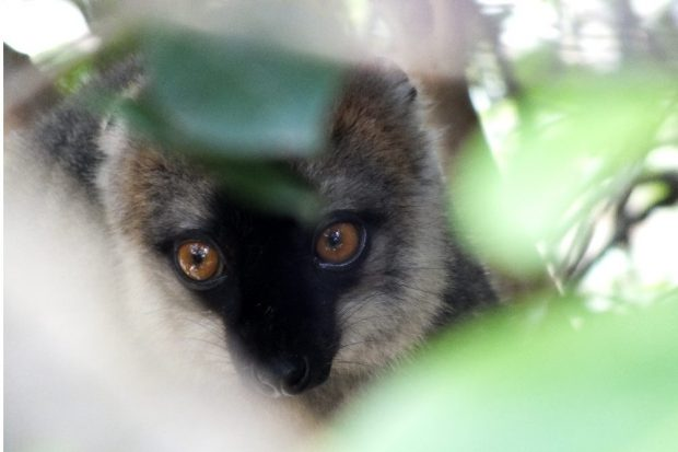 Lemuren kommen ausschließlich auf Madagaskar vor. Dieser Rotstirnmaki ernährt sich hauptsächlich von Früchten. Bild: Omer Nevo