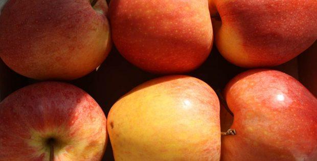 Äpfel, mit Misstrauen betrachtet. Foto: Ralf Julke