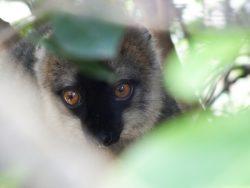 Lemuren kommen ausschließlich auf Madagaskar vor. Dieser Rotstirnmaki ernährt sich hauptsächlich von Früchten. (Bild: Omer Nevo)
