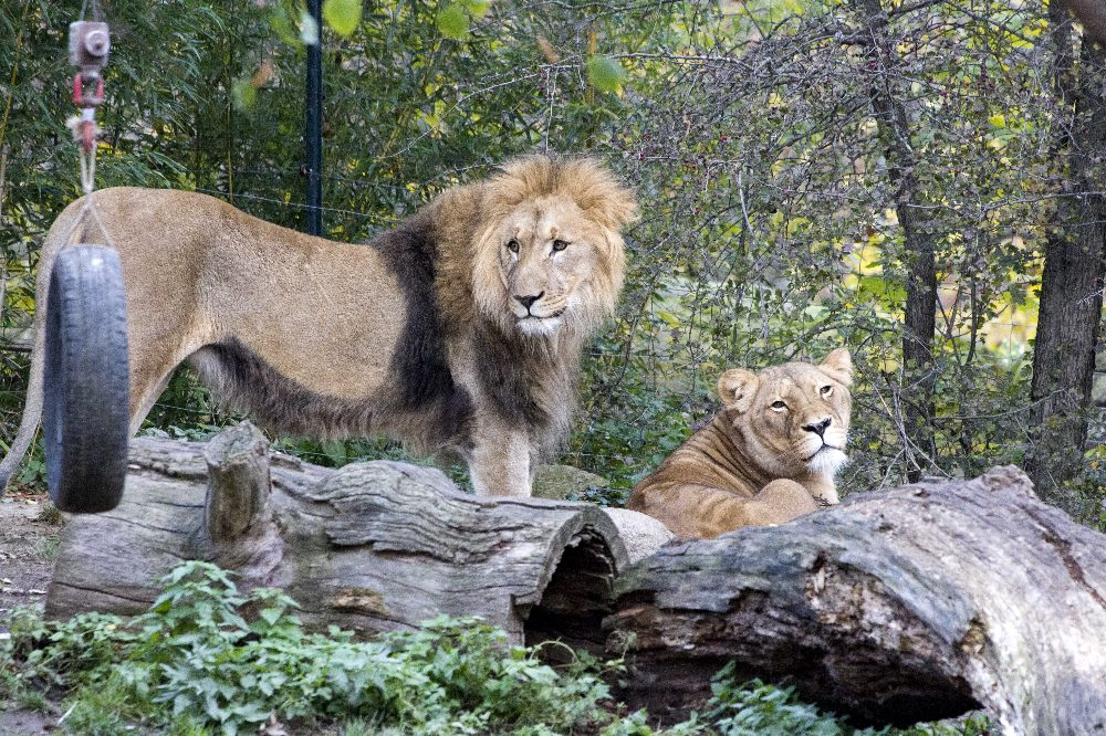Majo und Kigali sind wieder vereint © Zoo Leipzig