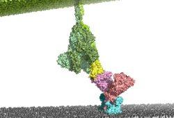 Im ersten Schritt des SARS-CoV-2 Infektionsprozesses wird der ACE2-Rezeptor (pink/hellblau) auf der menschlichen Zellmembran (grau) durch das virale S-Protein (grün/gelb) erkannt und gebunden. Foto: Milton T. Stubbs, ZIK HALOmem