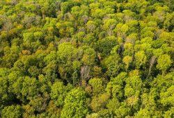 Die Trockenheit der letzten drei Jahre begünstigt Pilzkrankheiten. Im Leipziger Auwald sterben dadurch derzeit besonders die Esche und der Bergahorn ab. Selbst die Stieleiche ist bereits betroffen. Foto: André Künzelmann/UFZ