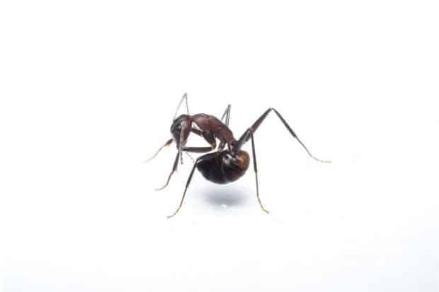 Eine Ameise (Camponotus cf. nicobarensis), die gerade versucht, Ameisensäure aus ihrer Giftblase zu schlucken Foto: Simon Tragust
